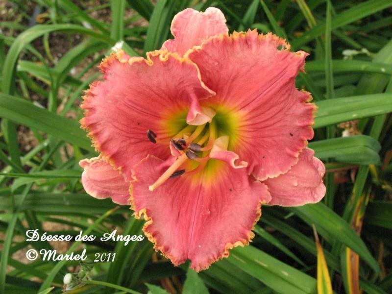 Les hémérocalles enregistrées de mon jardin - Page 2 Deesse10