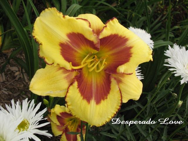 Les hémérocalles enregistrées de mon jardin - Page 2 Desper10