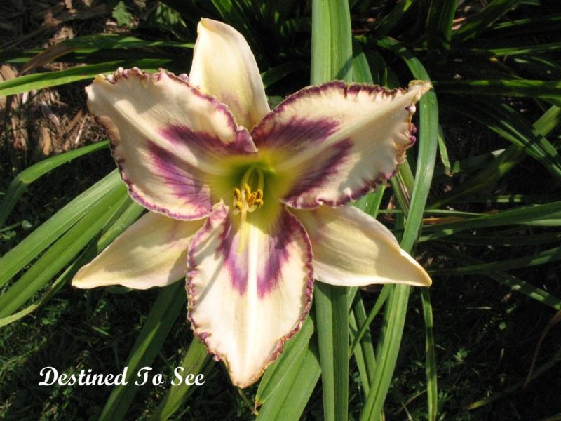 Les hémérocalles enregistrées de mon jardin - Page 2 Destin10