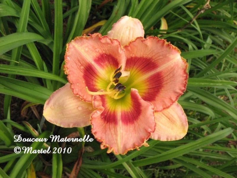Les hémérocalles enregistrées de mon jardin - Page 2 Douceu11