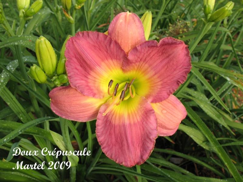 Les hémérocalles enregistrées de mon jardin - Page 2 Doux_c10