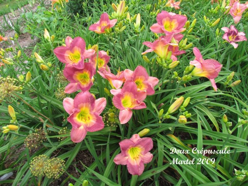 Les hémérocalles enregistrées de mon jardin - Page 2 Doux_c11