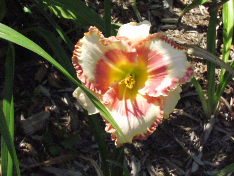 Les hémérocalles enregistrées de mon jardin - Page 2 Doveal10
