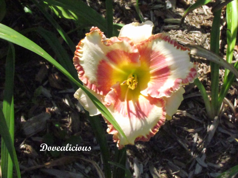 Les hémérocalles enregistrées de mon jardin - Page 3 Doveal11