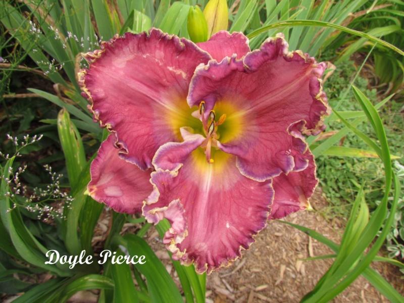Les hémérocalles enregistrées de mon jardin - Page 2 Doyle_10