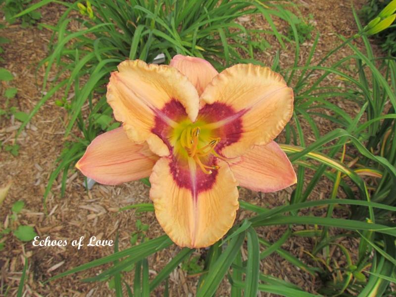 Les hémérocalles enregistrées de mon jardin - Page 2 Echoes10
