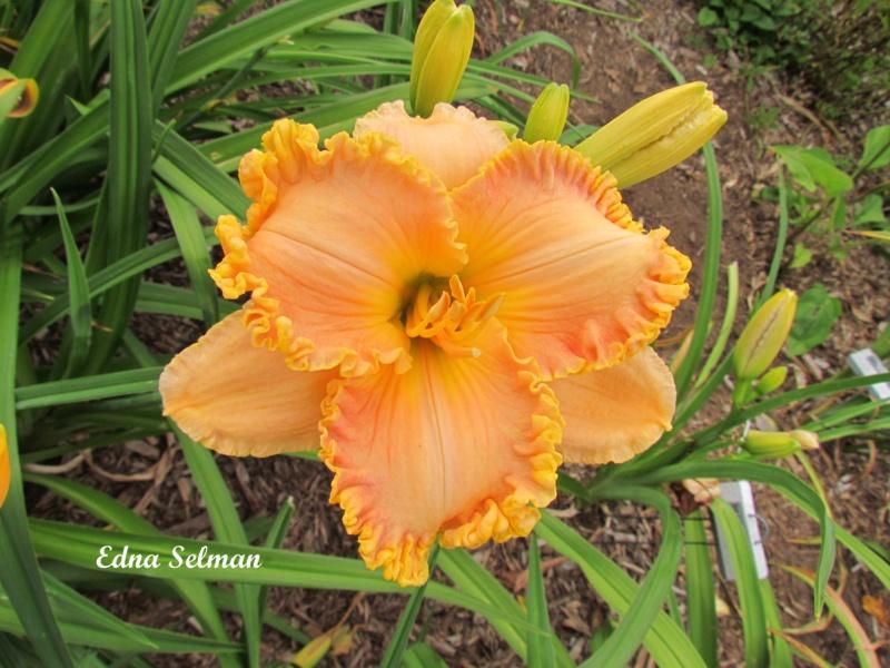 Les hémérocalles enregistrées de mon jardin - Page 2 Edna_s10