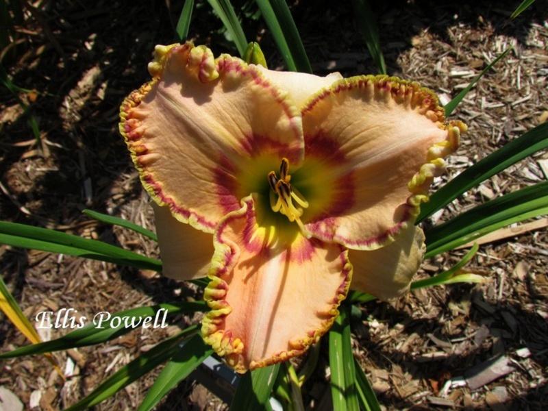 Les hémérocalles enregistrées de mon jardin - Page 2 Ellis_10
