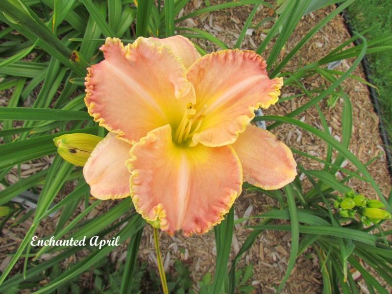 Les hémérocalles enregistrées de mon jardin - Page 2 Enchan10