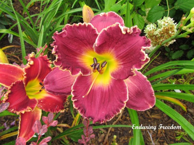 Les hémérocalles enregistrées de mon jardin - Page 2 Enduri10
