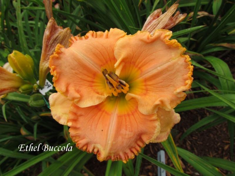 Les hémérocalles enregistrées de mon jardin - Page 2 Ethel_10