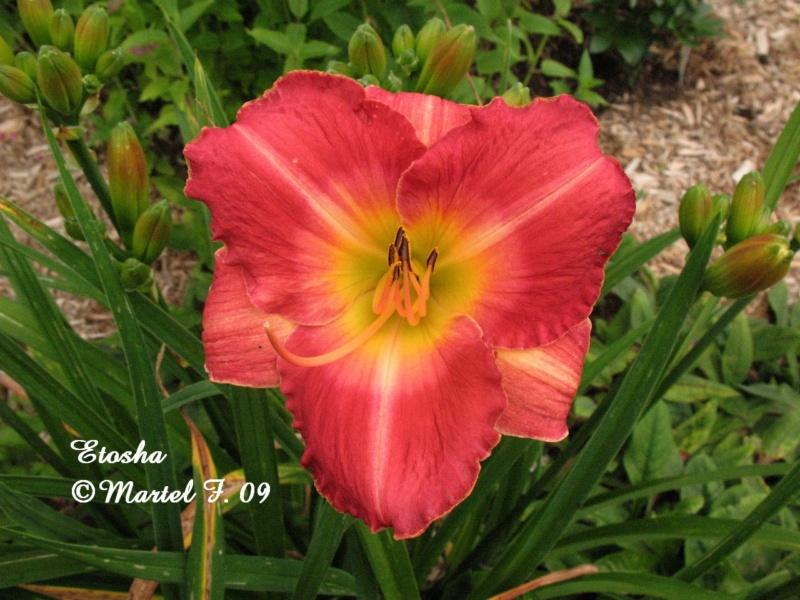 Les hémérocalles enregistrées de mon jardin - Page 2 Etosha10