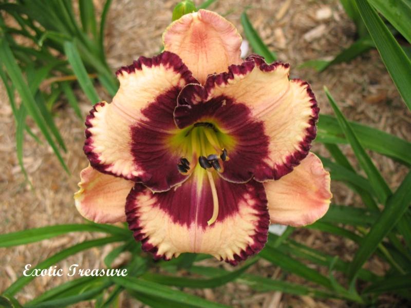Les hémérocalles enregistrées de mon jardin - Page 2 Exotic11