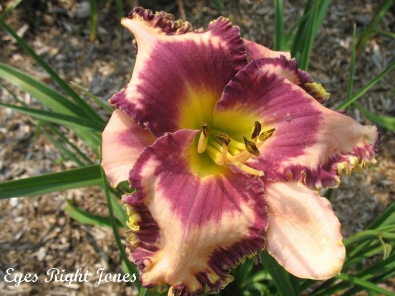 Les hémérocalles enregistrées de mon jardin - Page 2 Eyes_r10