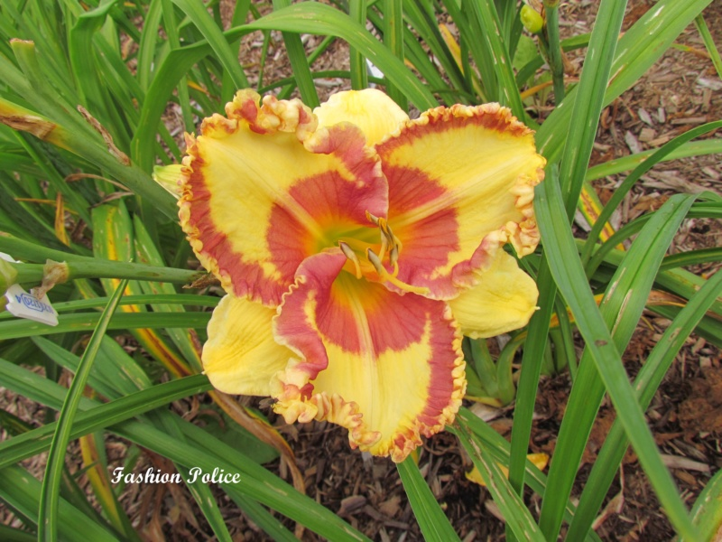 Les hémérocalles enregistrées de mon jardin - Page 2 Fashio10