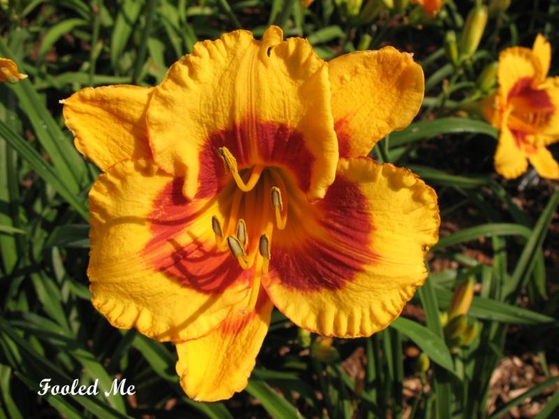 Les hémérocalles enregistrées de mon jardin - Page 2 Fooled10