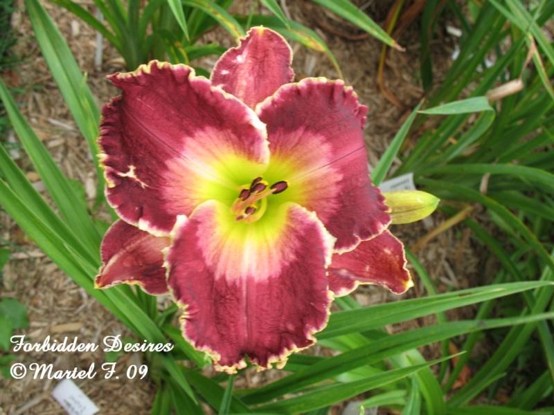 Les hémérocalles enregistrées de mon jardin - Page 2 Forbid10