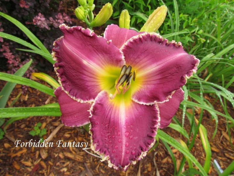 Les hémérocalles enregistrées de mon jardin - Page 2 Forbid11