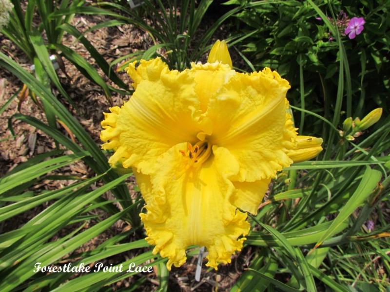 Les hémérocalles enregistrées de mon jardin - Page 2 Forest10