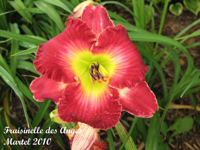 Les hémérocalles enregistrées de mon jardin - Page 2 Fraisi10