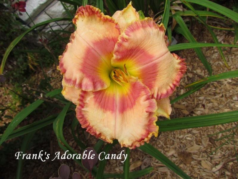 Les hémérocalles enregistrées de mon jardin - Page 2 Frank_10