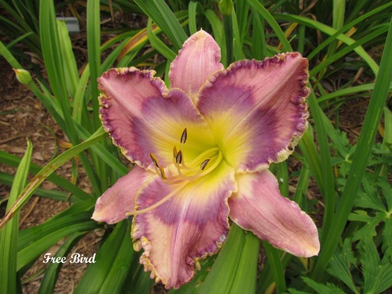 Les hémérocalles enregistrées de mon jardin - Page 2 Free_b10
