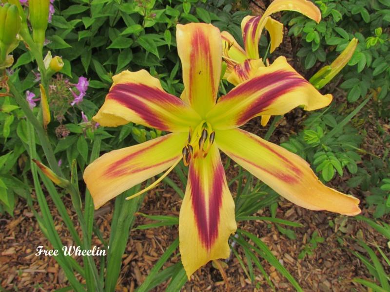 Les hémérocalles enregistrées de mon jardin - Page 2 Free_w10