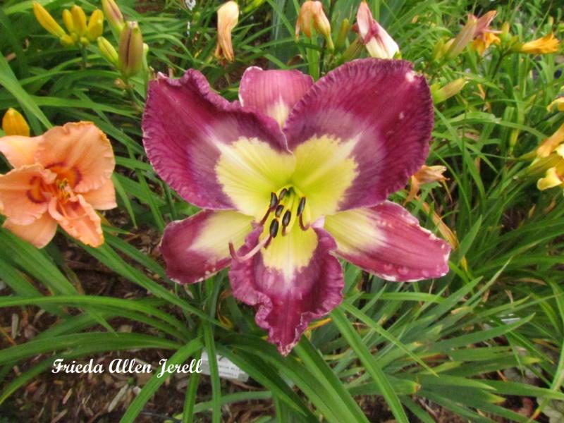 Les hémérocalles enregistrées de mon jardin - Page 2 Frieda10
