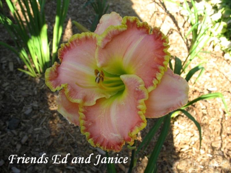Les hémérocalles enregistrées de mon jardin - Page 2 Friend10