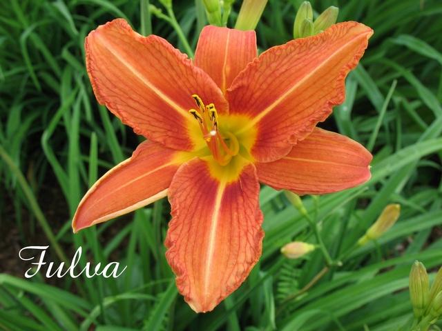 Les hémérocalles enregistrées de mon jardin - Page 2 Fulva10