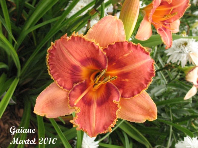 Les hémérocalles enregistrées de mon jardin - Page 3 Gaiane10