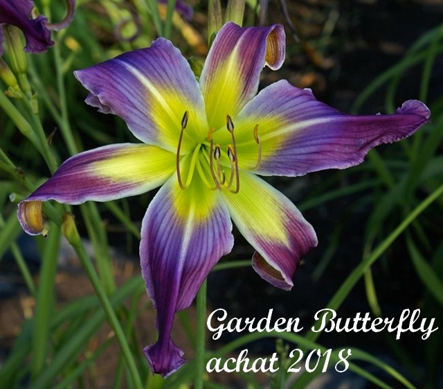 Les hémérocalles enregistrées de mon jardin - Page 3 Garden10
