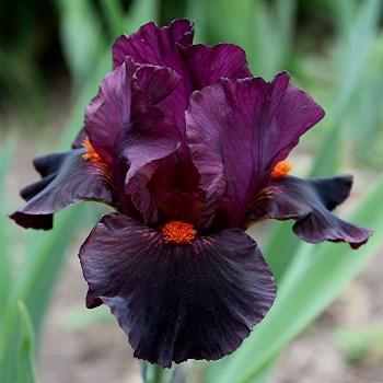 Ma collection d'iris - Page 6 Garnet10