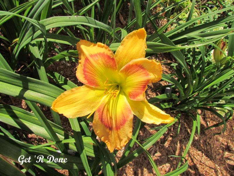 Les hémérocalles enregistrées de mon jardin - Page 3 Get_r_10
