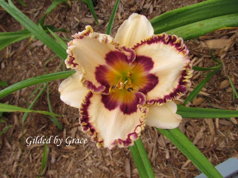 Les hémérocalles enregistrées de mon jardin - Page 3 Gilded10
