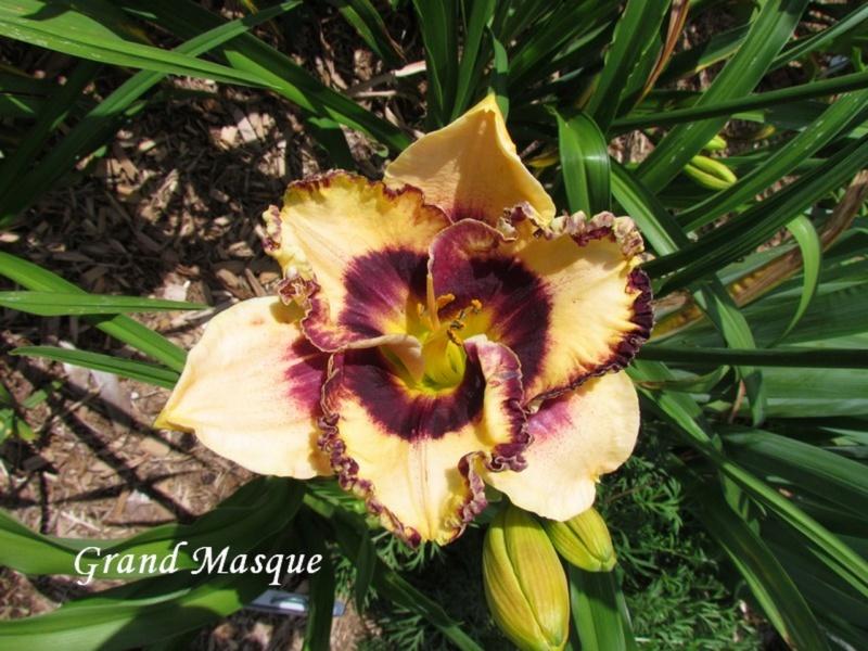 Les hémérocalles enregistrées de mon jardin - Page 3 Grand_10