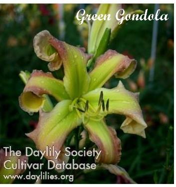 Les hémérocalles enregistrées de mon jardin - Page 3 Green_11