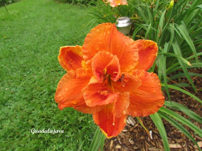 Les hémérocalles enregistrées de mon jardin - Page 3 Guadal10