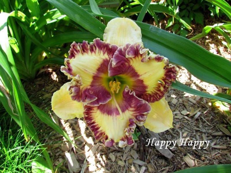 Les hémérocalles enregistrées de mon jardin - Page 3 Happy_10