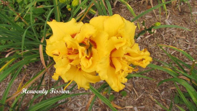 Les hémérocalles enregistrées de mon jardin - Page 3 Heaven15