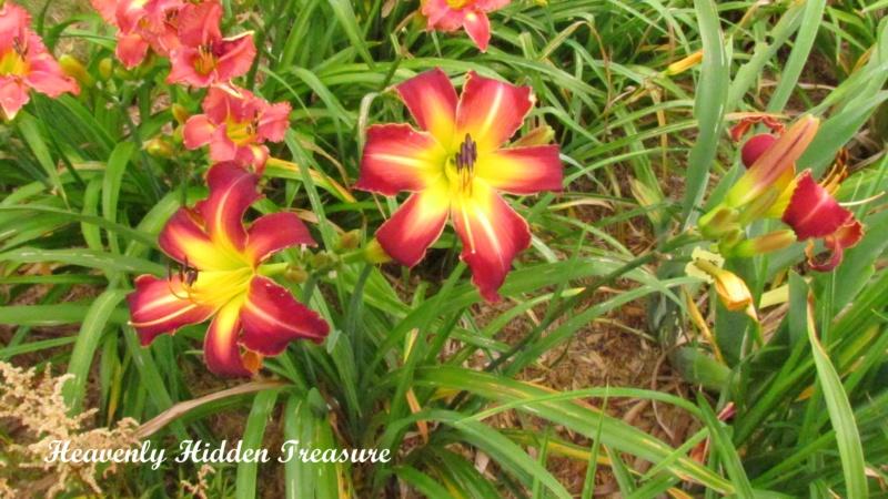 Les hémérocalles enregistrées de mon jardin - Page 3 Heaven17
