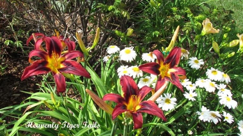 Les hémérocalles enregistrées de mon jardin - Page 3 Heaven19