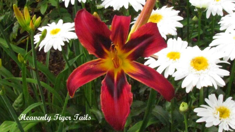 Les hémérocalles enregistrées de mon jardin - Page 3 Heaven21