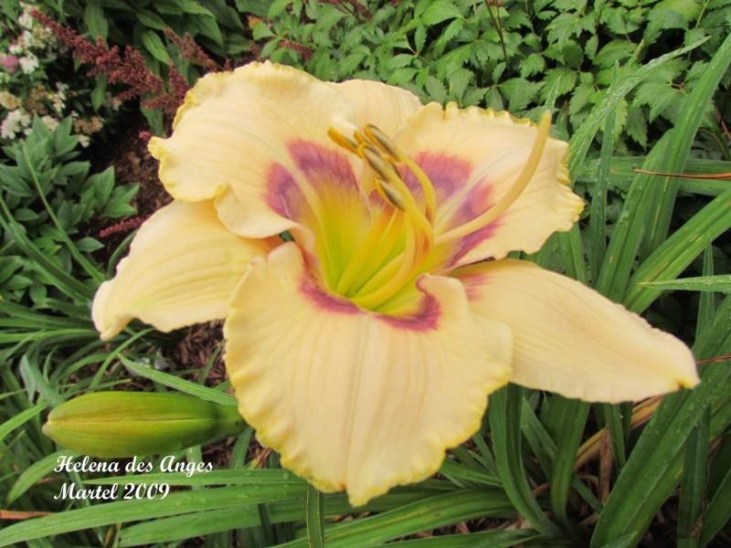 Les hémérocalles enregistrées de mon jardin - Page 3 Helena10