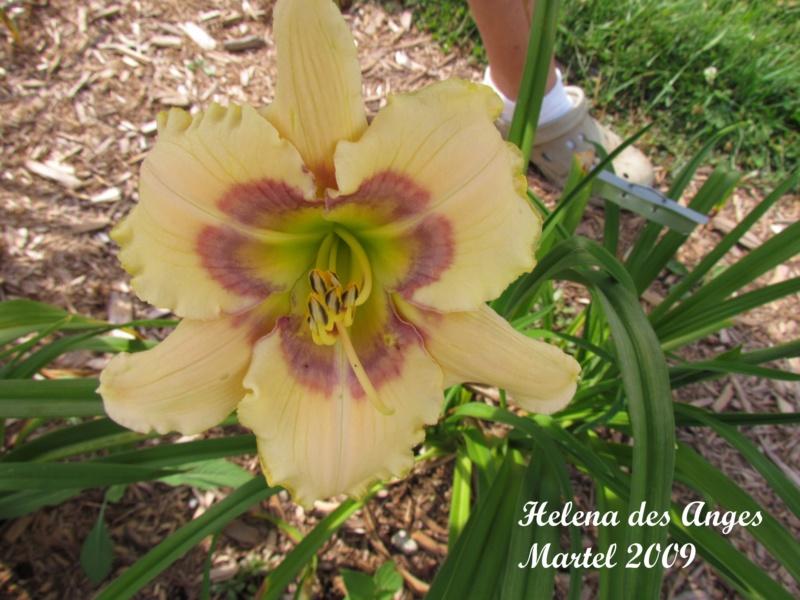 Les hémérocalles enregistrées de mon jardin - Page 3 Helena11