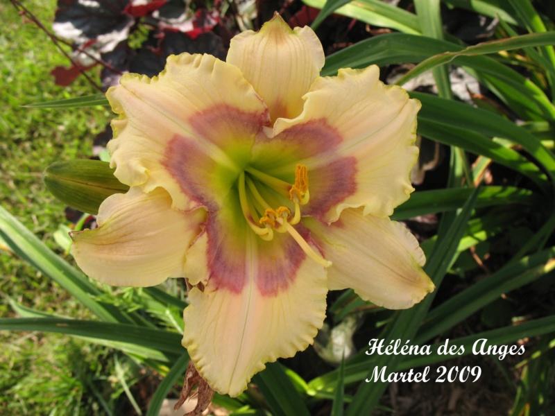Les hémérocalles enregistrées de mon jardin - Page 3 Helena12