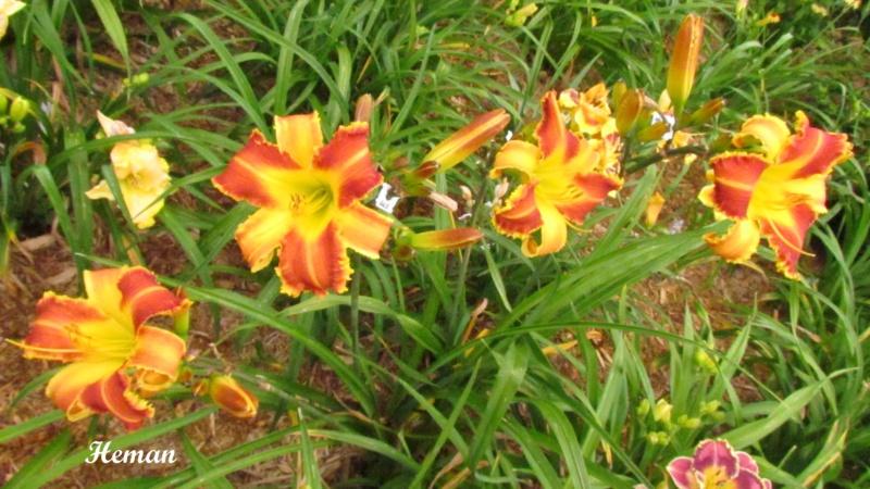 Les hémérocalles enregistrées de mon jardin - Page 3 Heman_10