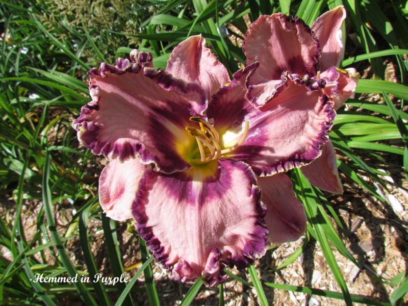 Les hémérocalles enregistrées de mon jardin - Page 3 Hemmed10