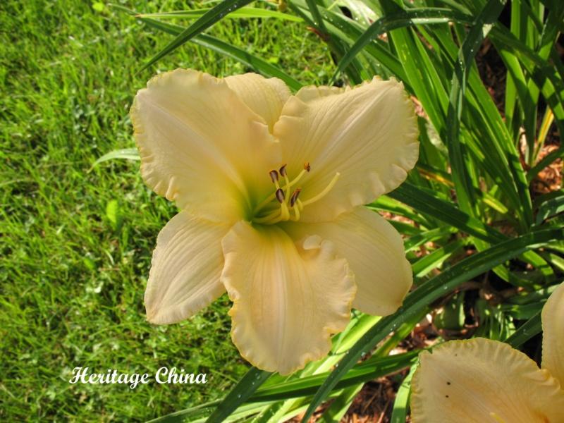 Les hémérocalles enregistrées de mon jardin - Page 3 Herita10