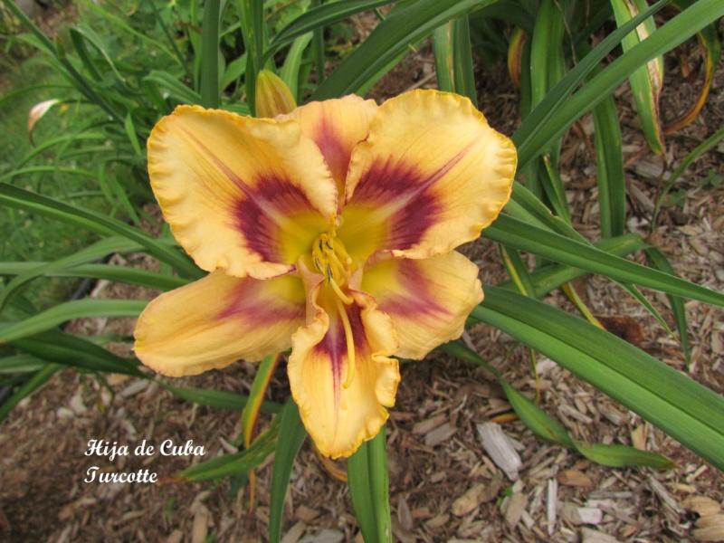 Les hémérocalles enregistrées de mon jardin - Page 3 Hija_d10